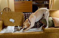 Come Addestrare un Labrador