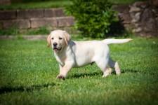 Labrador Carattere Addestramento