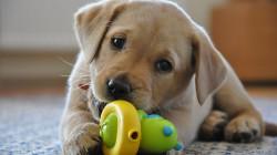 Labrador Carattere Cucciolo
