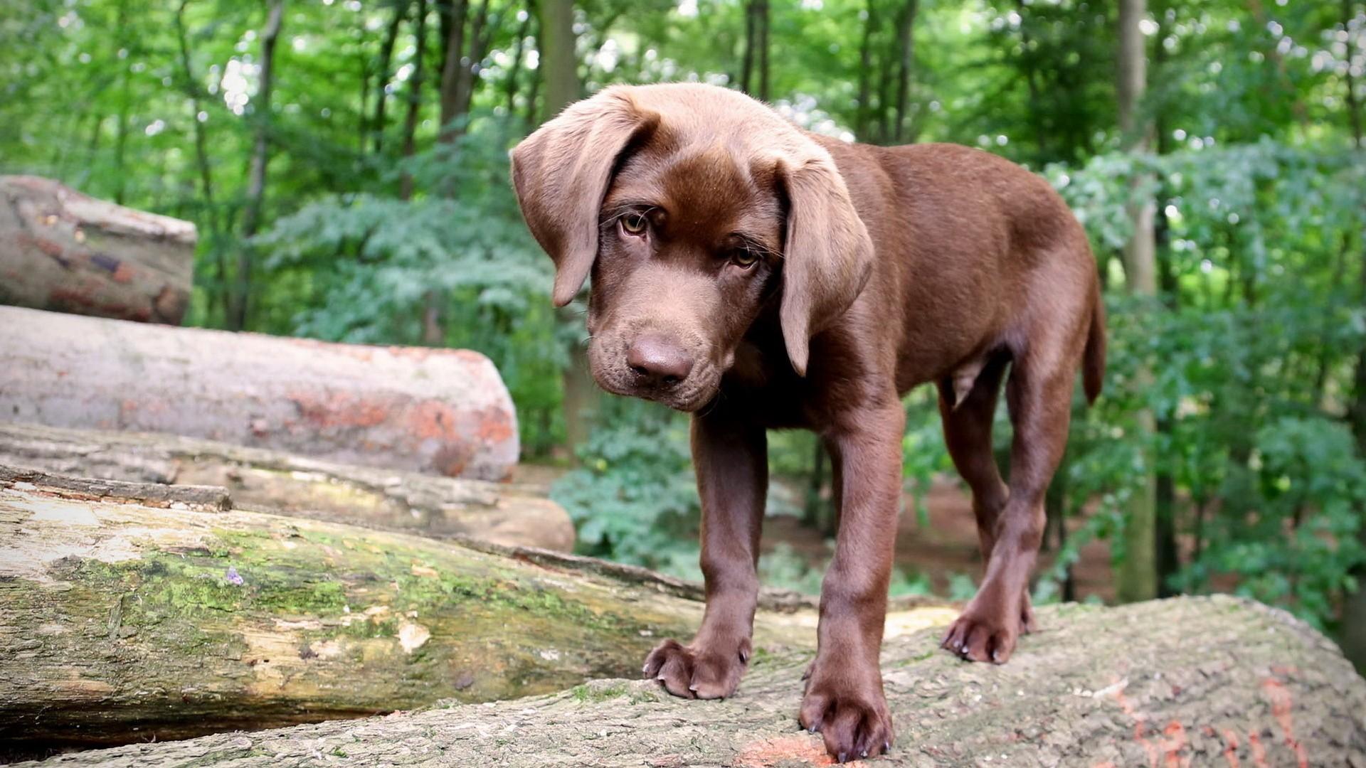 Carattere Labrador