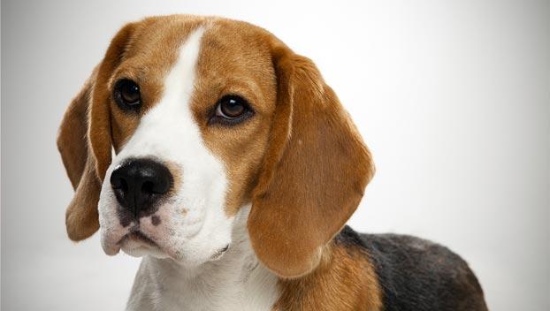 Beagle Carattere