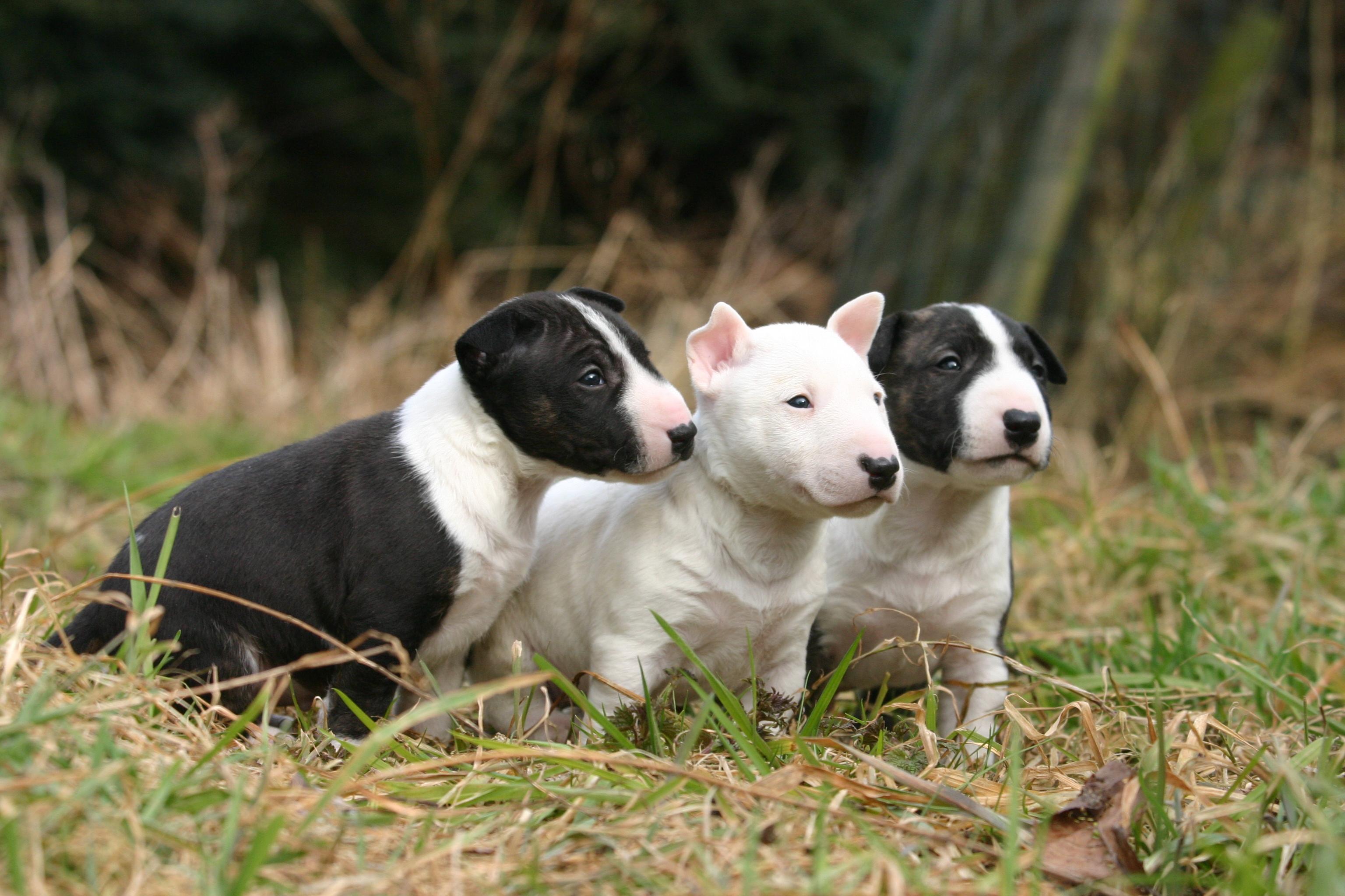 Bull Terrier Carattere