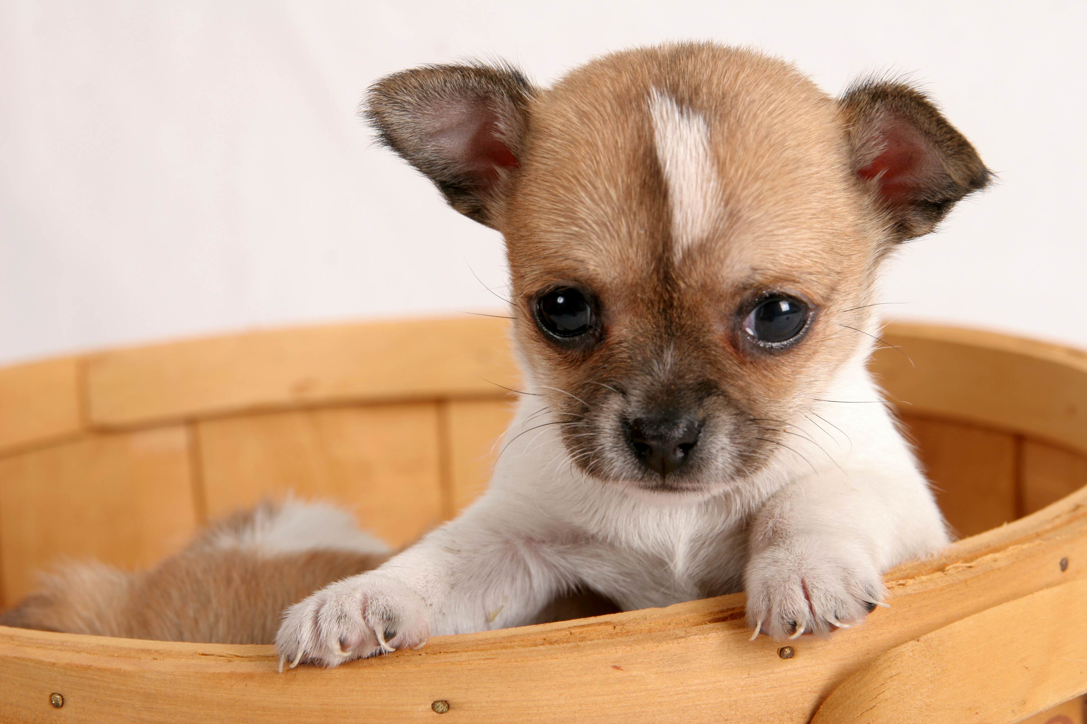 Chihuahua Carattere