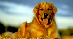 Golden Retriever Alimentazione