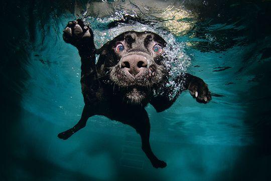 labrador nuotatore
