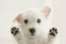 west highland white terrier carattere