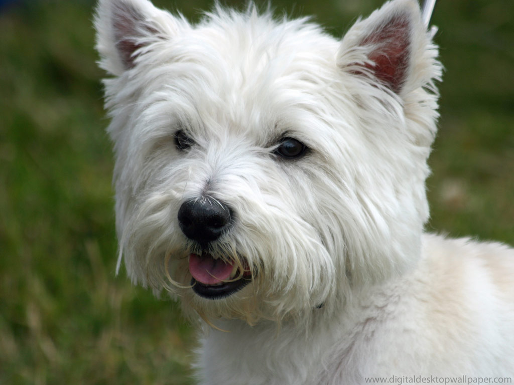 west highland white terrier carattere immagine