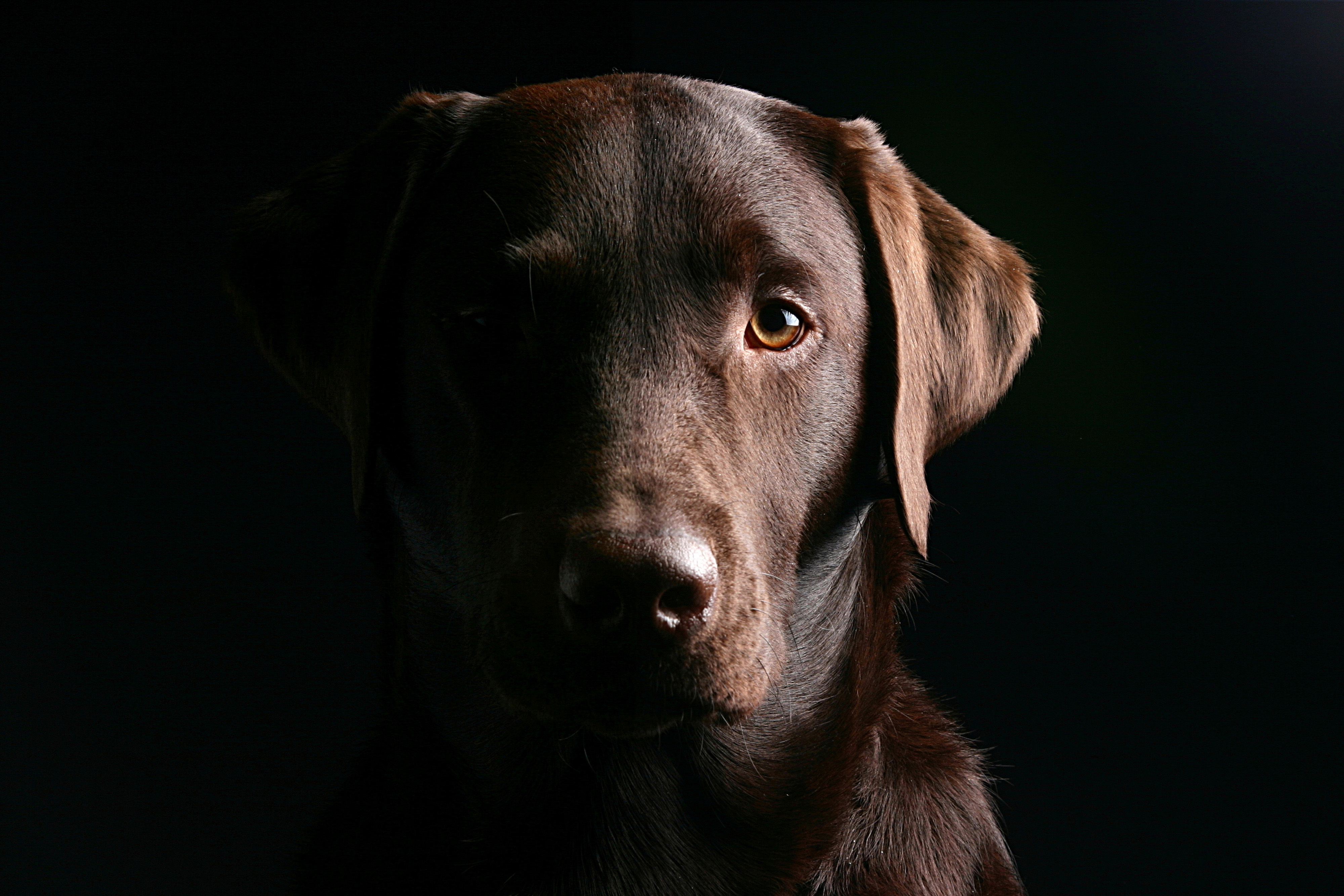 labrador marrone