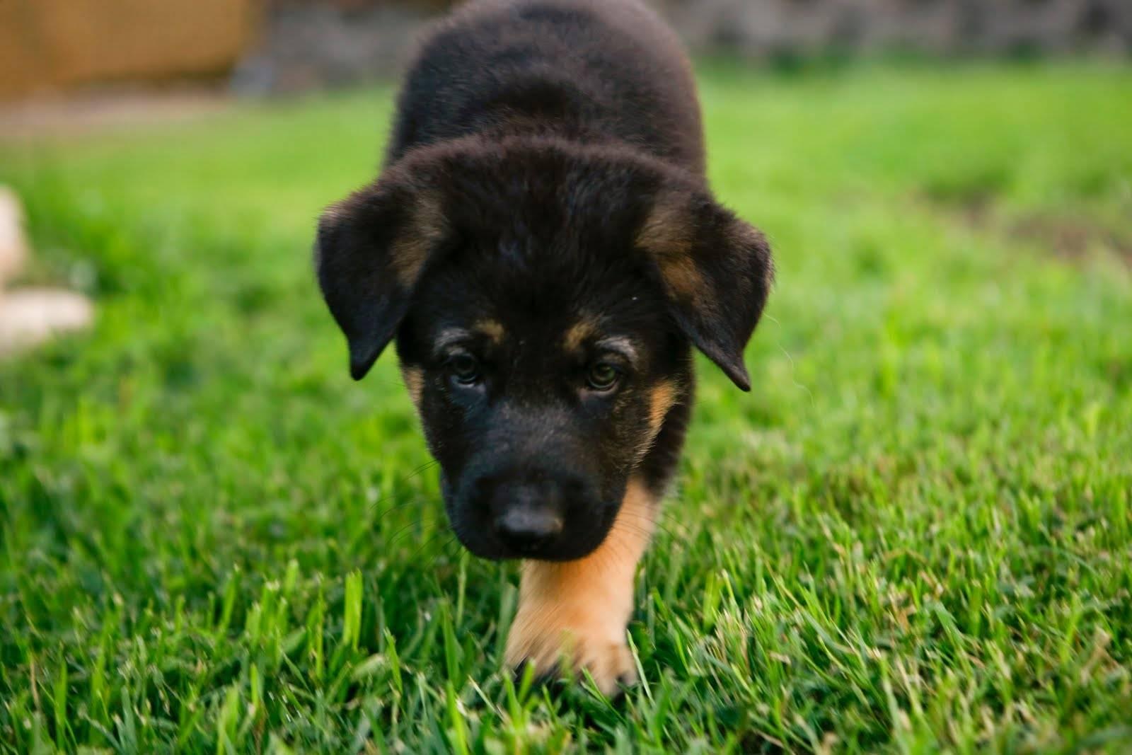 pastore tedesco carattere cucciolo