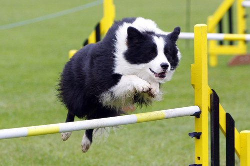 Border collie carattere agility