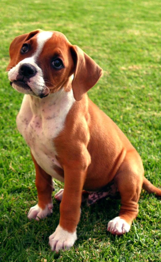 addestramento boxer cucciolo