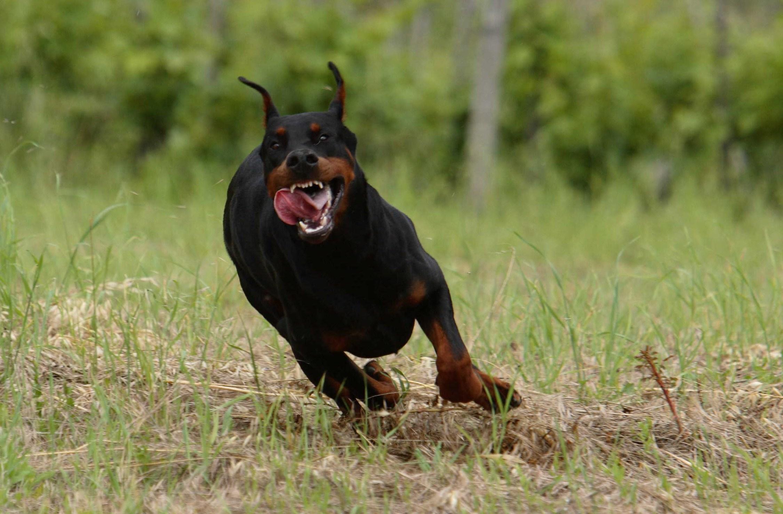 Persone Attaccate Da Pitbull.Addestramento Cani Da Guardia Linee Guida E Consigli