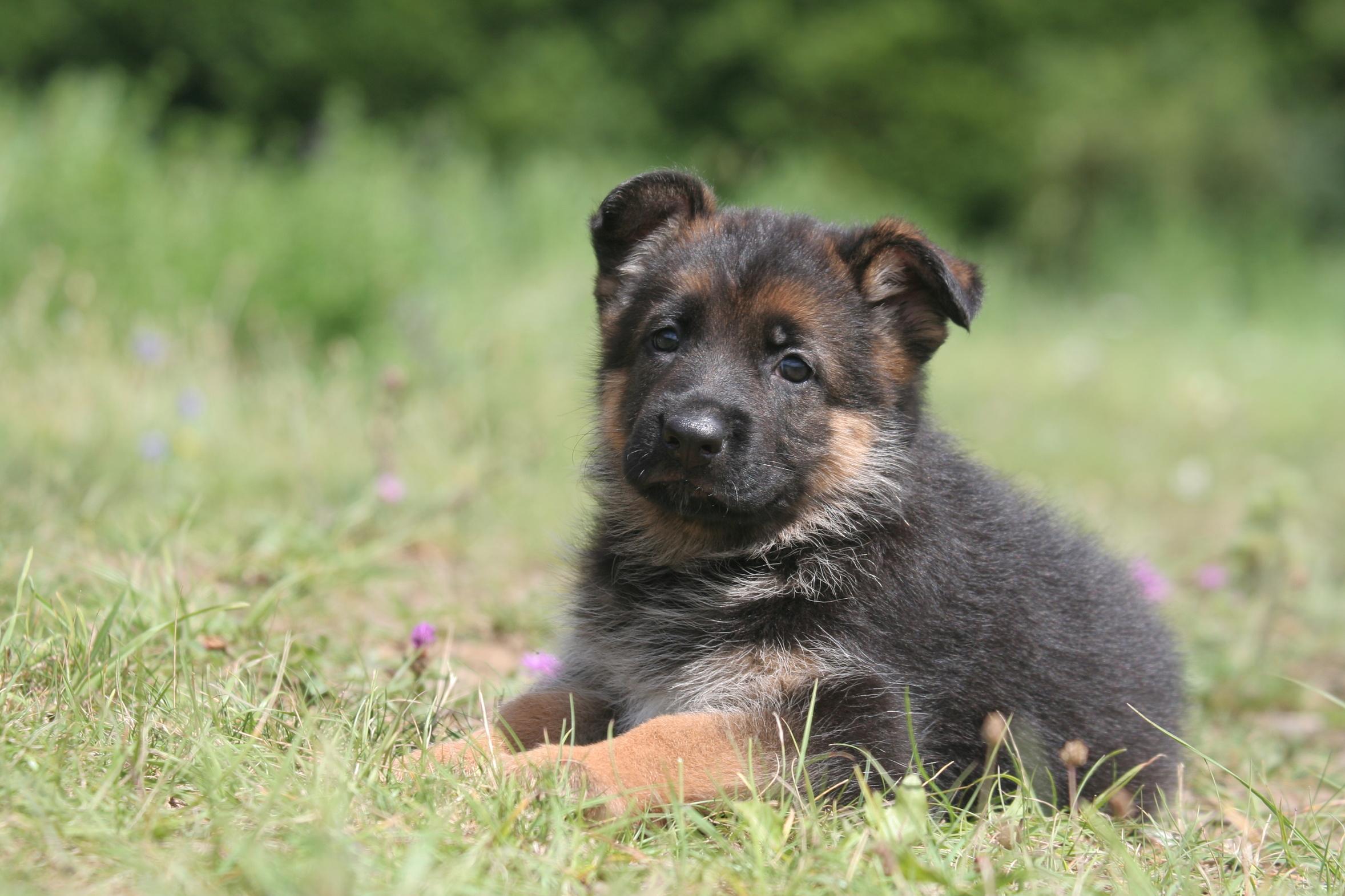 addestrare un pastore tedesco cucciolo