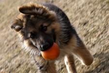 addestrare un pastore tedesco foto