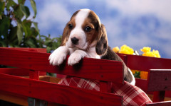 addestramento beagle