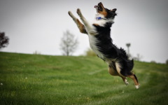 addestramento border collie agility