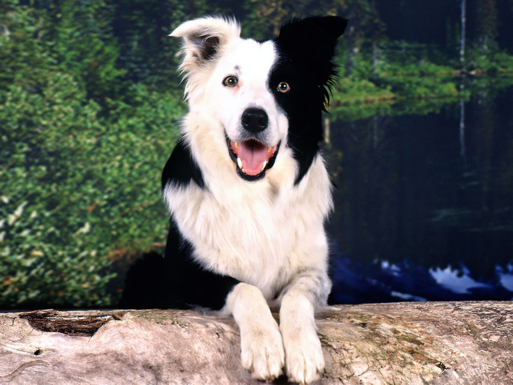 addestramento border collie