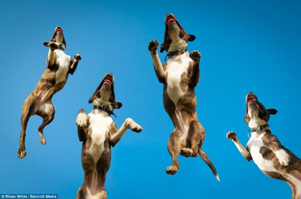addestramento bull terrier foto