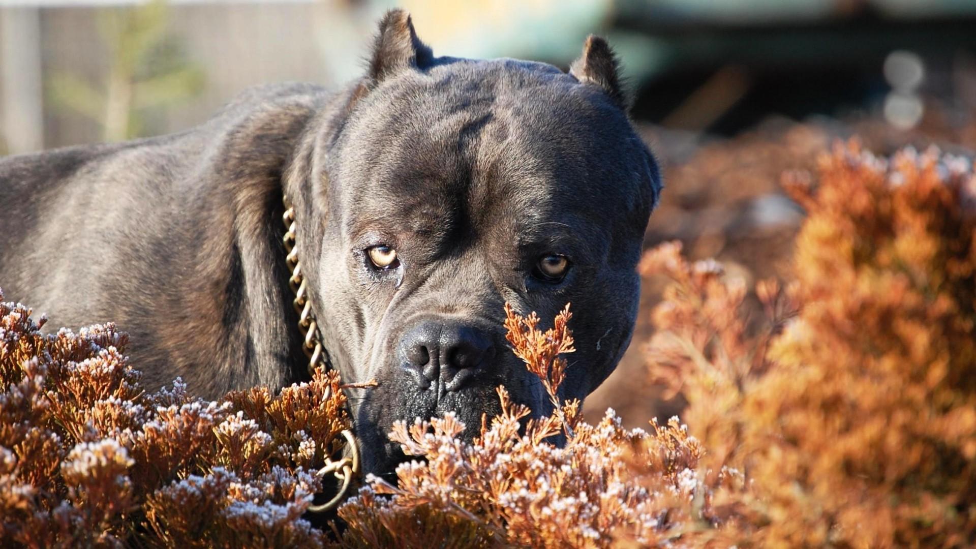 addestramento cane corso foto