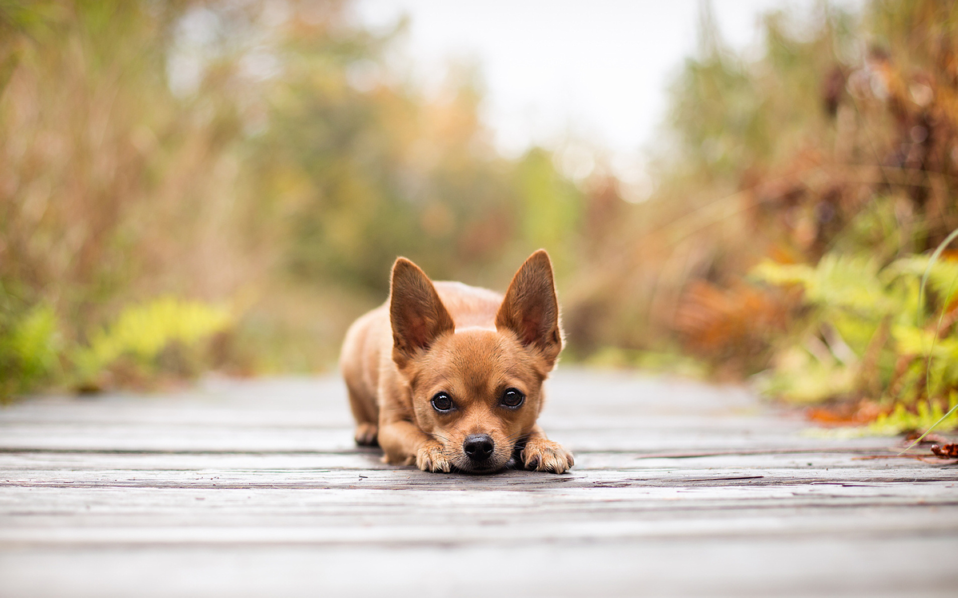 Addestramento Chihuahua 2