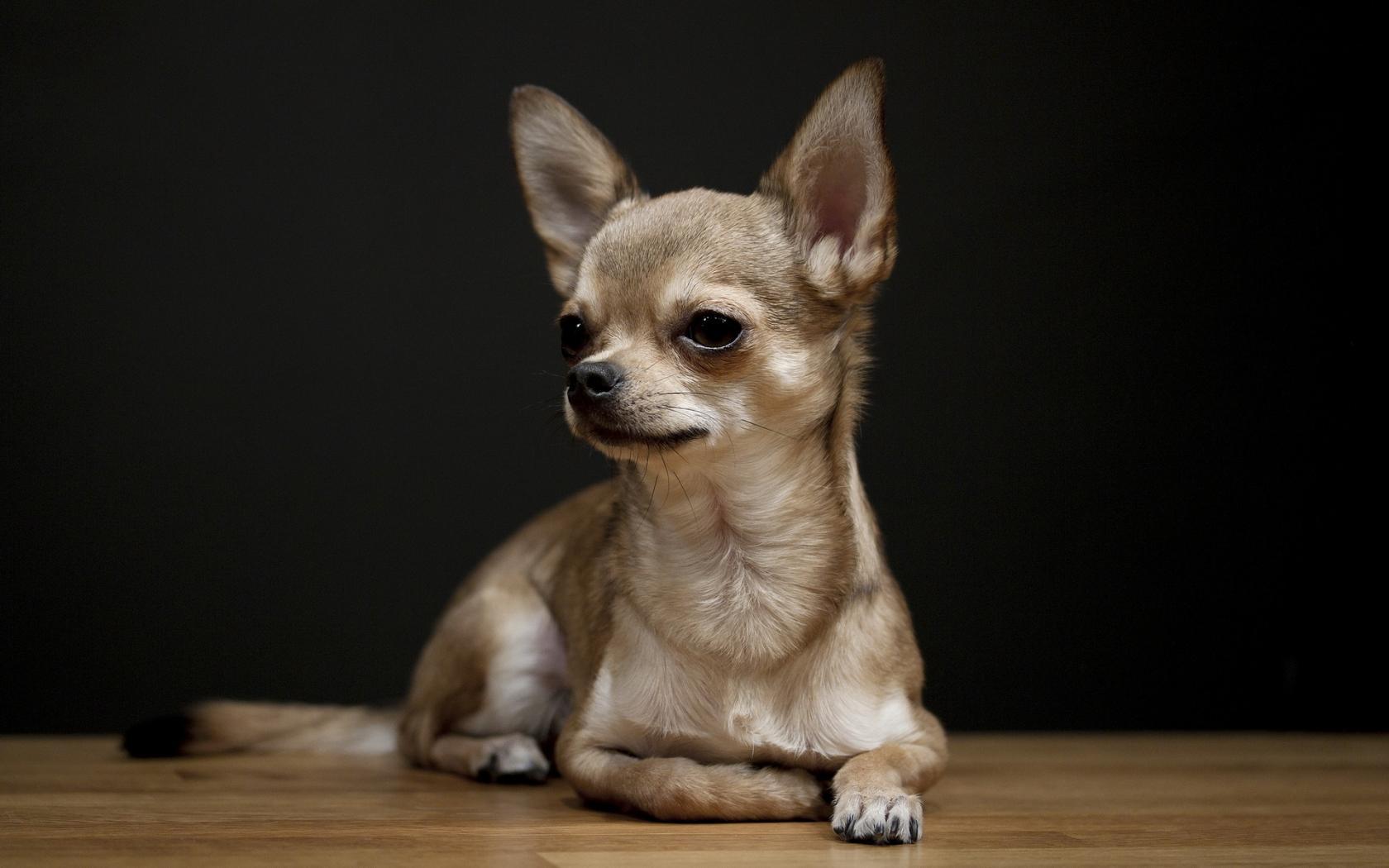 Addestramento Chihuahua
