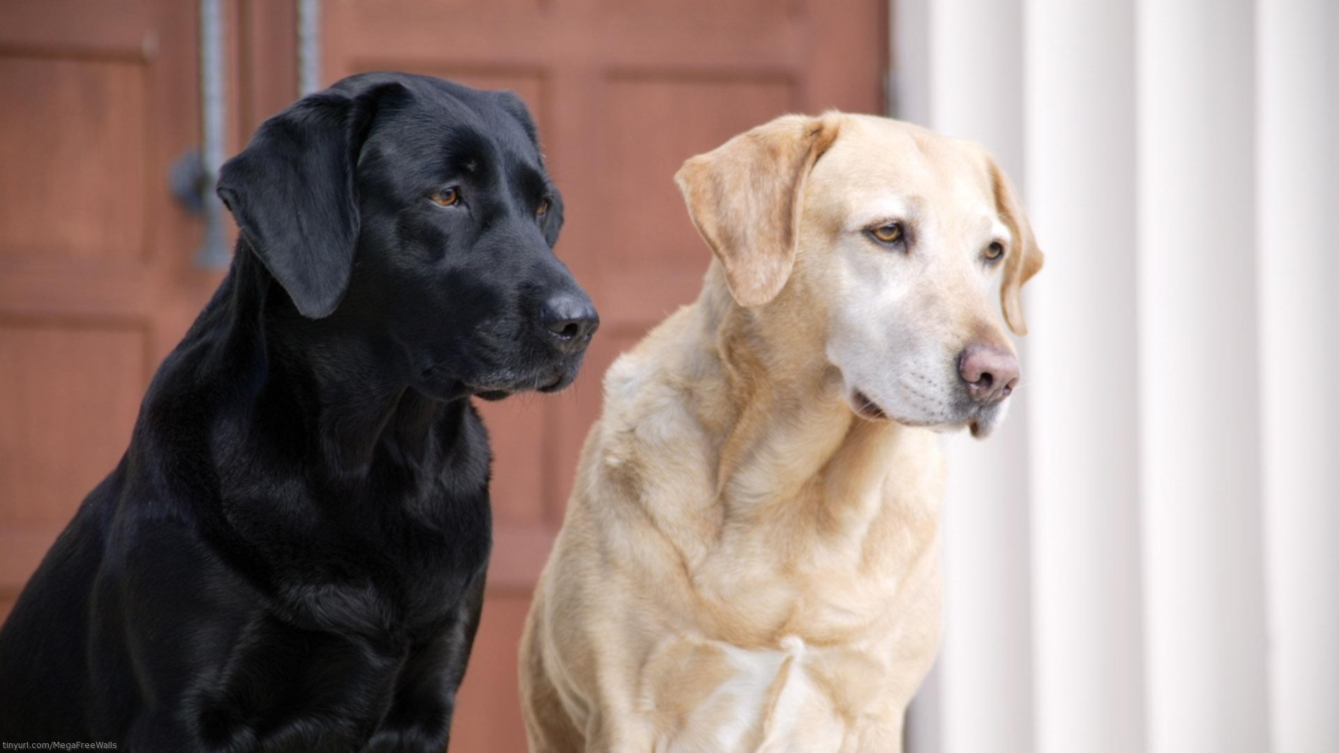 Labrador Retriever info