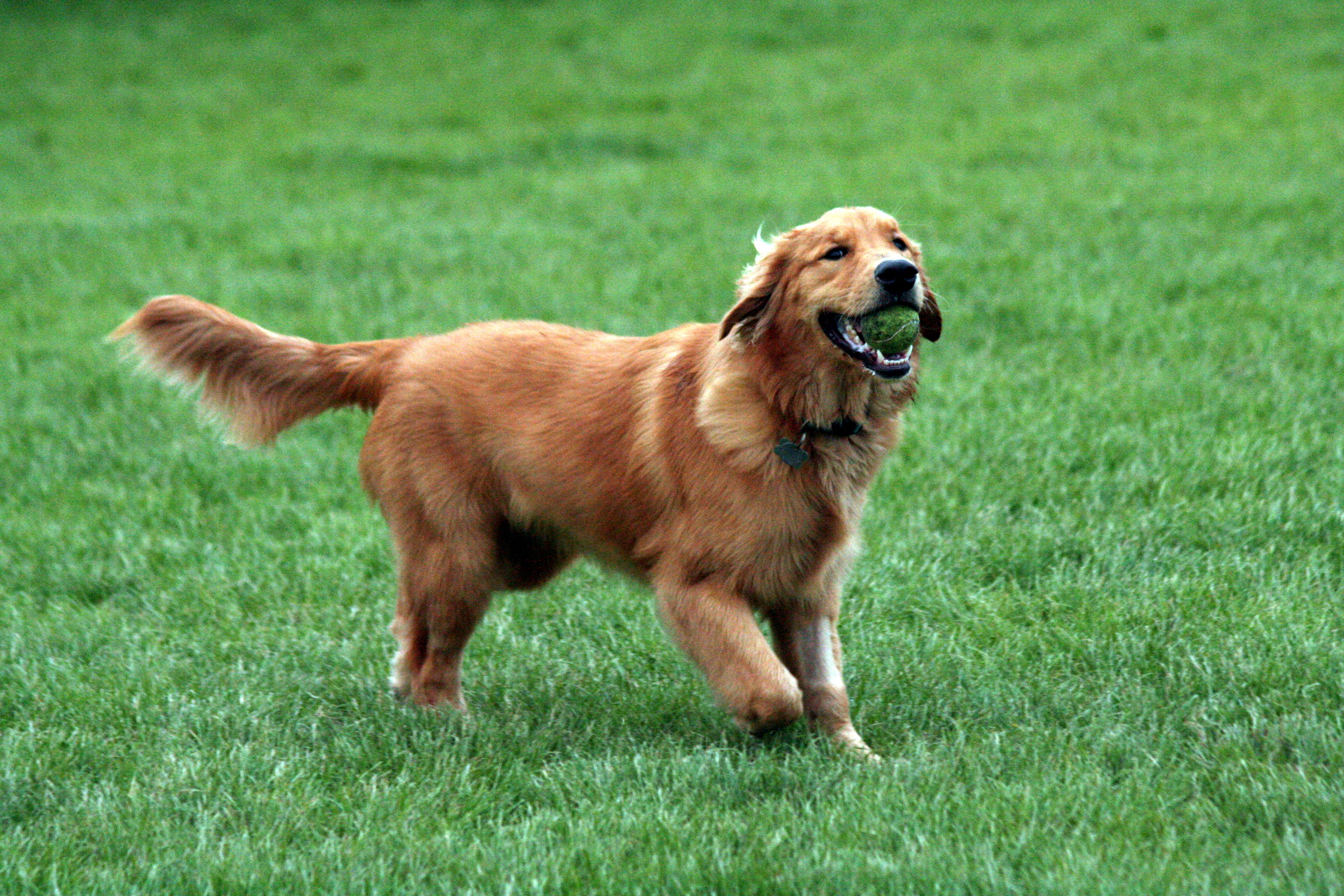 golden retriever addestramento immagine
