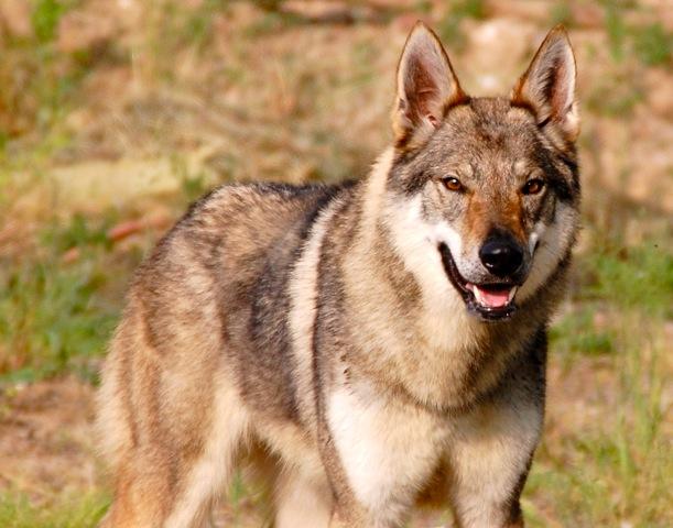 addestramento cane lupo cecoslovacco