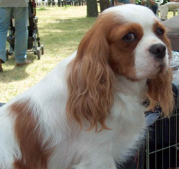 cavalier king carattere